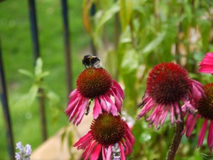 Bee on echinacea in Cameo planter